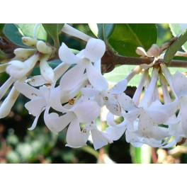 http://www.floricolturailmiogiardino.it/eshop/493-thickbox_default/olea-fragrans-osmanthus-fragrans.jpg
