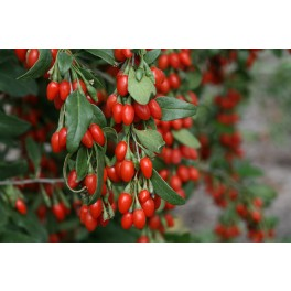 http://www.floricolturailmiogiardino.it/eshop/497-thickbox_default/goji-lycium-barbarum-wolfberry.jpg
