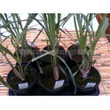 Lemon Grass - Citronella - Cymbopogon