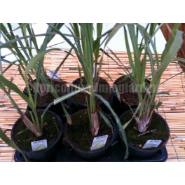 http://www.floricolturailmiogiardino.it/eshop/619-thickbox_default/lemon-grass-citronella-cymbopogon.jpg