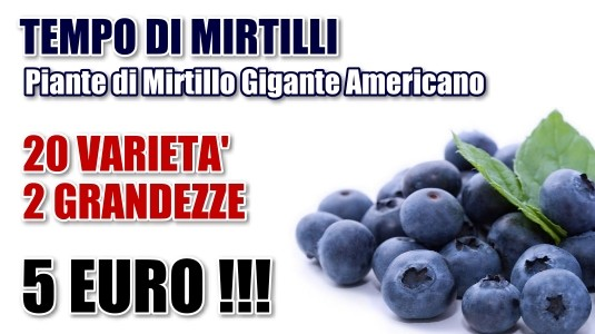 Mirtillo Gigante Americano